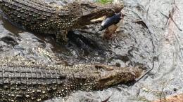 Krokodilparken nära Grisbukten vid Zapatahalvön